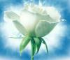Depuis: La rose blanche