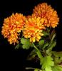 Depuis: Le bal des chrysanthèmes